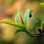 puzhen puer tea leaf